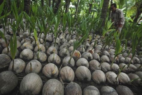 Bibit Kelapa Wulung Semarang tanaman kelapa kopyor lihat daftar harga terbaru dan