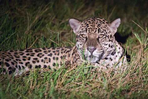 imagenes de jaguar en peligro de extincion hoy tamaulipas foto del dia jaguar en peligro de extinci 243 n