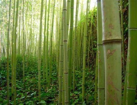 fisiologia e cura della pianta di bamb 249
