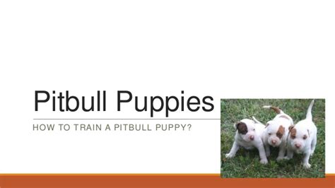 how to your pitbull puppy pitbull puppies how to your pitbull puppy