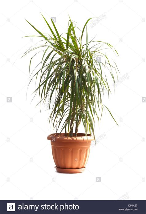 buy house plants now dracaena marginata green bakker com room palm dracaena marginata stock photo royalty free