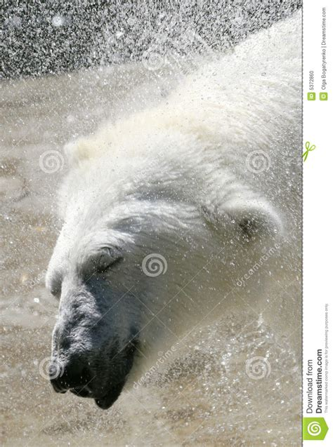 two polar bears in a bathtub polar bear bath time stock photo image 5372860