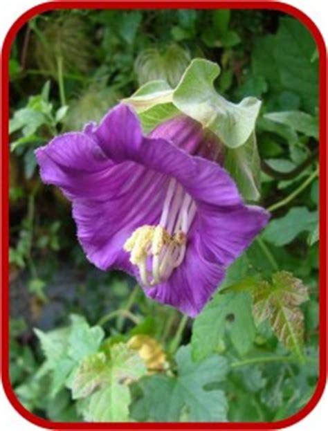 piante da giardino con fiori viola piante con fiori viola