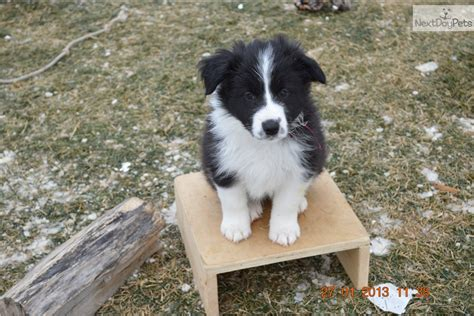 border collie puppies for sale in ohio images of karma the border collie mix puppies daily puppy wallpaper breeds picture