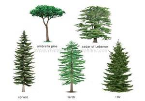 different types of trees names of coniferous trees exles of conifers image