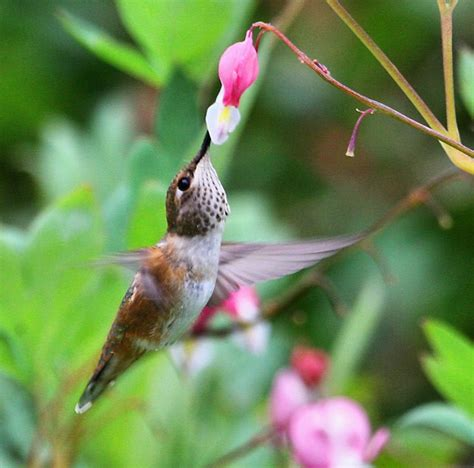 37 flowers that attract hummingbirds to your garden homesteading