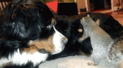 squirrel buries nut in squirrel tries to bury nut in fur of bernese mountain barkpost