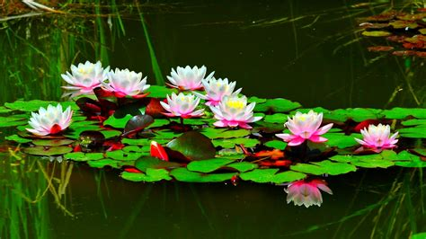 lotus white water lily flower wallpaper  pc tablet