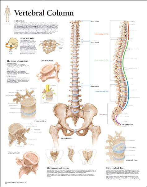 sections of the vertebral column human body system what is vertebral column
