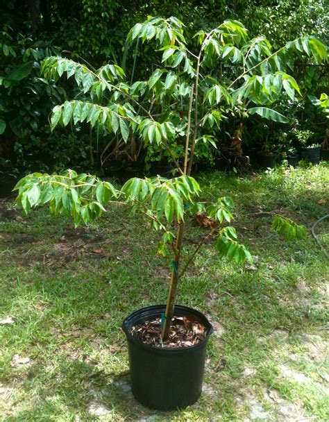 florida fruit tree nursery the time for planting tropical fruit in your south