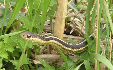 how to avoid snakes in backyard keep snakes out of your yard by leaving hair from your