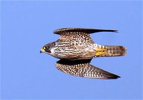 why can the peregrine falcon fly so fast bio aerial