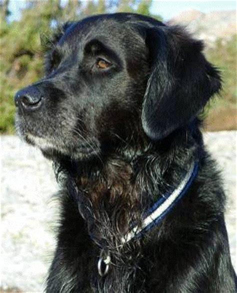 jag golden retriever mmhund hunddagis hundpensionat kurser p 229 orust