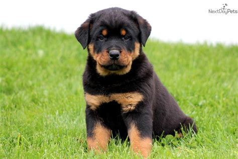 pictures of rottweiler puppies rottweiler puppy for sale near lancaster pennsylvania 1b691007 c7c1