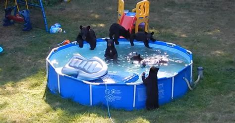 mummy bear   cubs hold pool party  familys