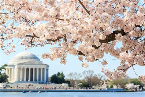 cherry blossom festival dc national cherry blossom festival curbed dc