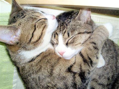 cat hugs cats hugging daily picks and flicks