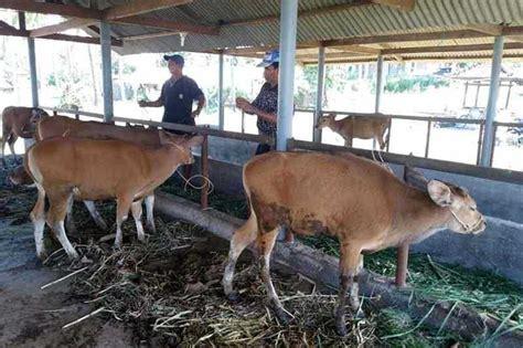 Bibit Sapi Bali ini sebab harga bibit sapi nusa penida merosot balipost
