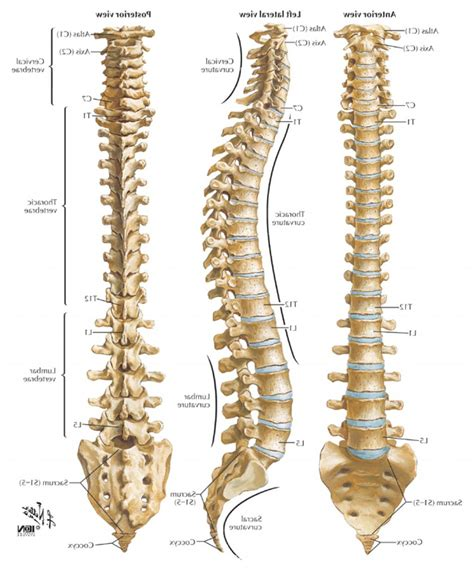 diagram of human spine diagram of the human spine human vertebrae diagram human