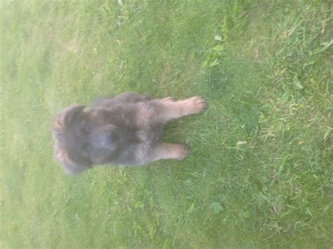 blue german shepherd puppies for sale blue german shepherd puppies for sale sleaford lincolnshire pets4homes
