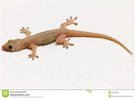 House Lizard by House Lizard Clipart Clipartsgram