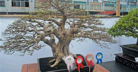 Bakalan Bonsai Lohansung merawat bakalan bonsai anting putri centralbonsai berbagi ilmu tanaman bonsai