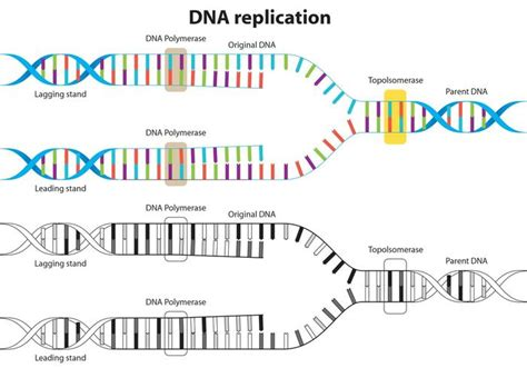 dna replication process diagram labeled diagram of dna replication 28 images basics of