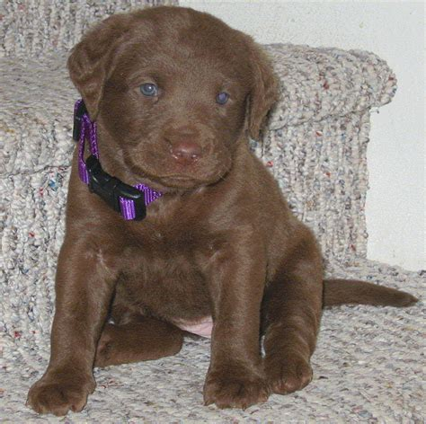 chesapeake bay puppies caledonia kennels chesapeake bay retrievers we breed chessies