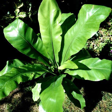 type in asplenium nidus planter et cultiver ooreka
