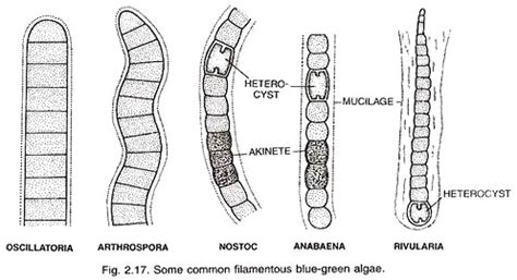 oscillatoria diagram cyanobacteria occurrence morphology and cell structure