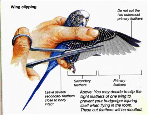 you must care to know how to style short hair budgies are awesome wing clipping