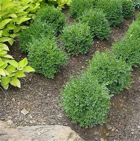 buxus green velvet green velvet boxwood from greenleaf