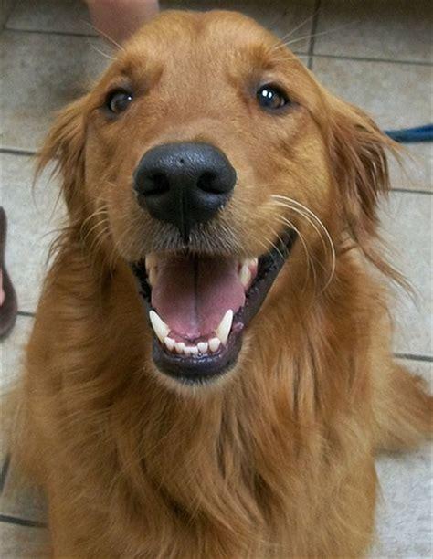 smiling golden retriever photo