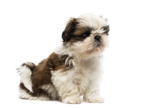 shih tzu soft shih tzu dogs breed information omlet