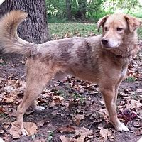 golden retriever adoption virginia capon bridge wv golden retriever australian shepherd mix meet tate a for adoption