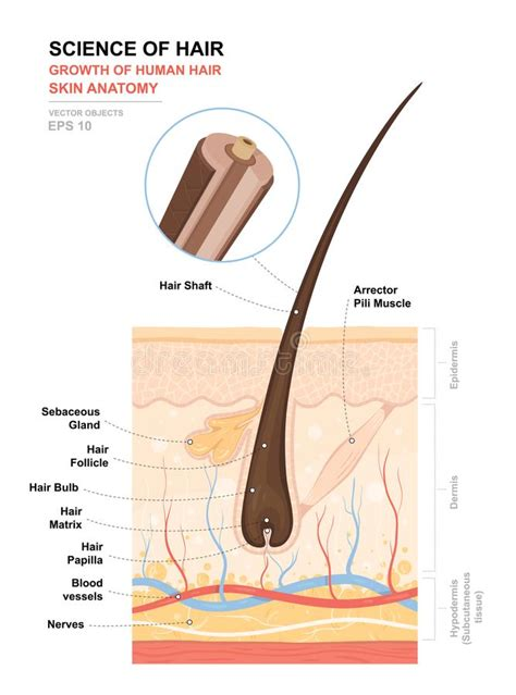 human skin hair structure anatomical sign stock vector 121646728 anatomical poster growth and structure of human hair skin and hair anatomy cross