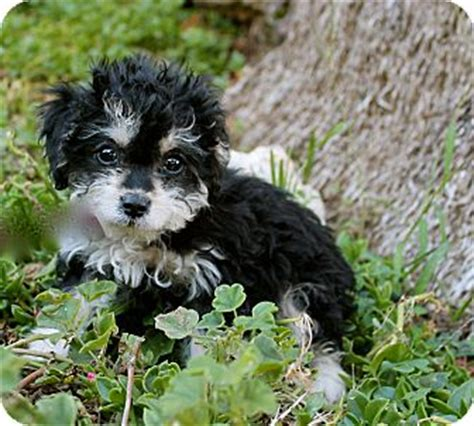 havanese puppies for adoption in california adopted puppy los angeles ca havanese poodle miniature mix