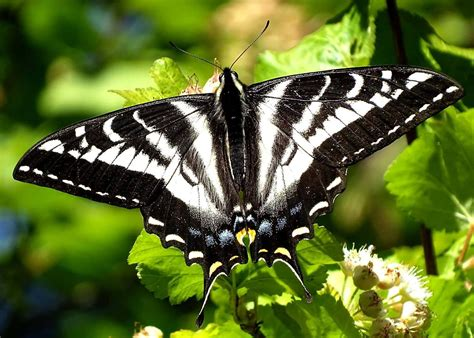 butterflies among us a story about and perspective books reader photo pale swallowtail butterfly taking a