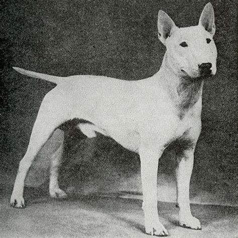 miniature bull terrier dog breed information miniature bull terrier dog breed information