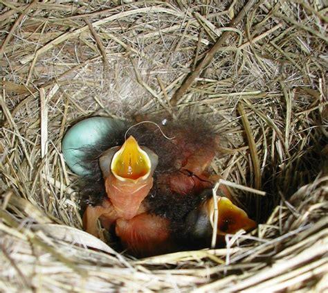 how to hatch bird eggs bird egg hatching
