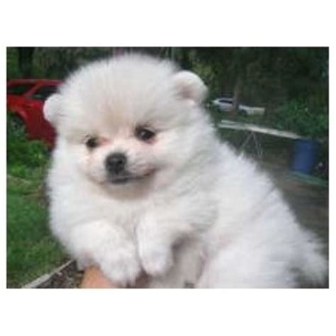 pomeranian puppies for free adoption in delhi white pomeranian puppy for sale
