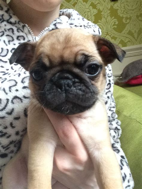 half pug half pug puppies for sale barrow in furness cumbria pets4homes