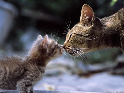 cat kiss wallpaper picture of a mother cat tenderly rubbing noses with her
