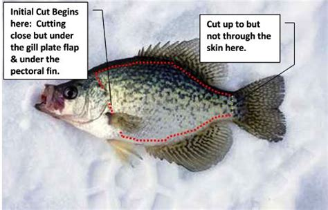 fillet a crappie how to fillet fish filleting fish fish anatomy
