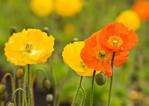 linguaggio dei fiori papavero la leggenda dei papaveri greenme