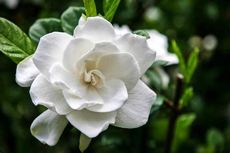 Gardenia Proof Proof Gardenia For Sale The Tree Center