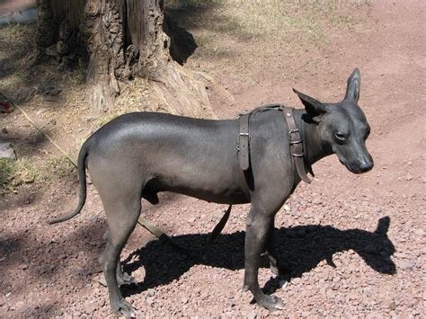 mexican dogs sad mexican hairless photo and wallpaper beautiful sad mexican hairless pictures