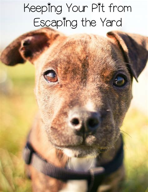 pitbull puppy tips pitbull puppy tips keeping them in the yard dogvills