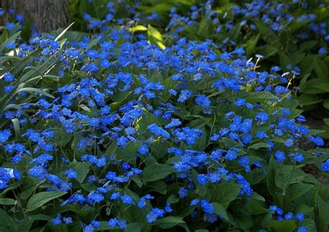 Blühende Sträucher Für Schattige Plätze 1053 by Omphalodes Verna Waldvergissmeinnicht Blau Bl 252 Hender