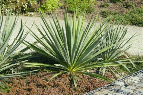 garten yucca umpflanzen fragen der kalenderwoche 27 mein sch 246 ner garten